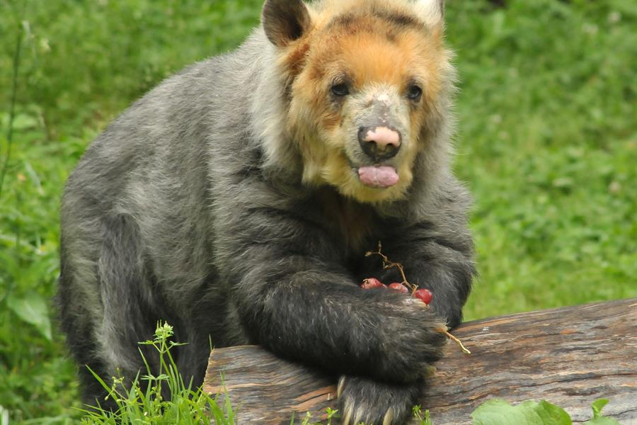 Spectacled bear (Tremarctos ornatus) eating grapes