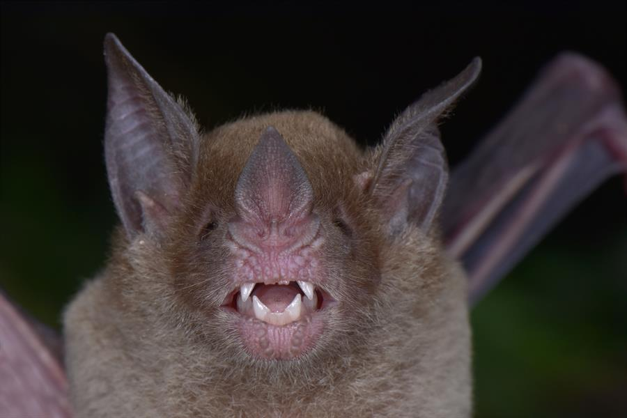The Pale-faced Bat (Phylloderma stenops) was rediscovered during this survey after more than 75 years since it was last documented in Honduras in 1942.