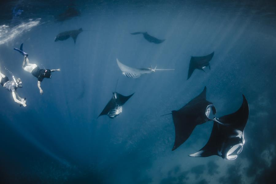 Divers swim with a group of manta rays in the Bird's Head Seascape in Indonesia.