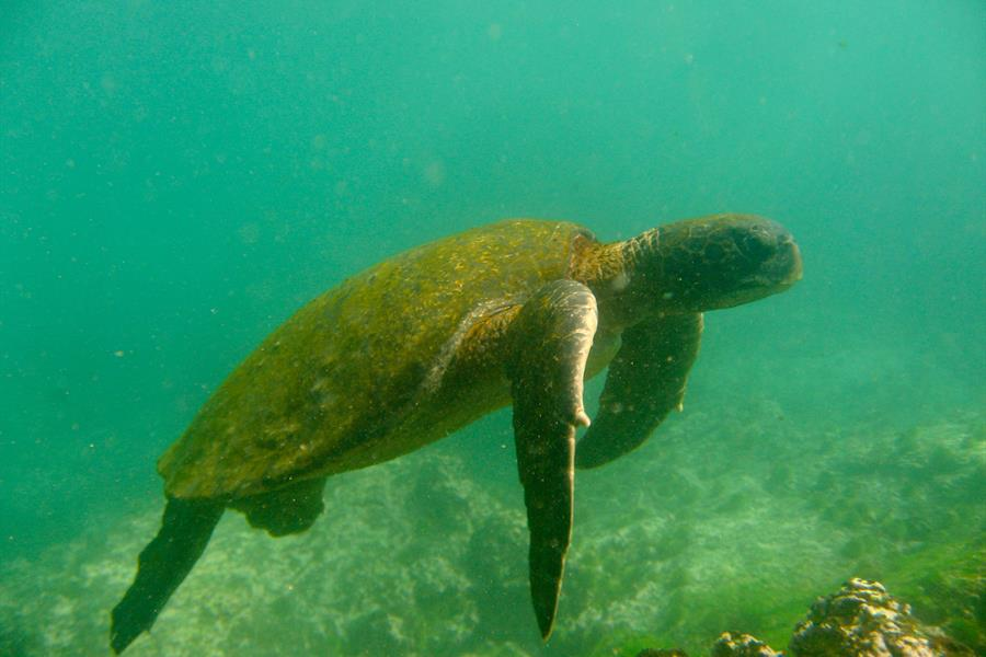 A Pacific green sea turtle in the Galapagos
