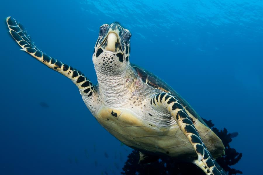 Hawksbill Turtle  Shot in West Papua Province, Indonesia