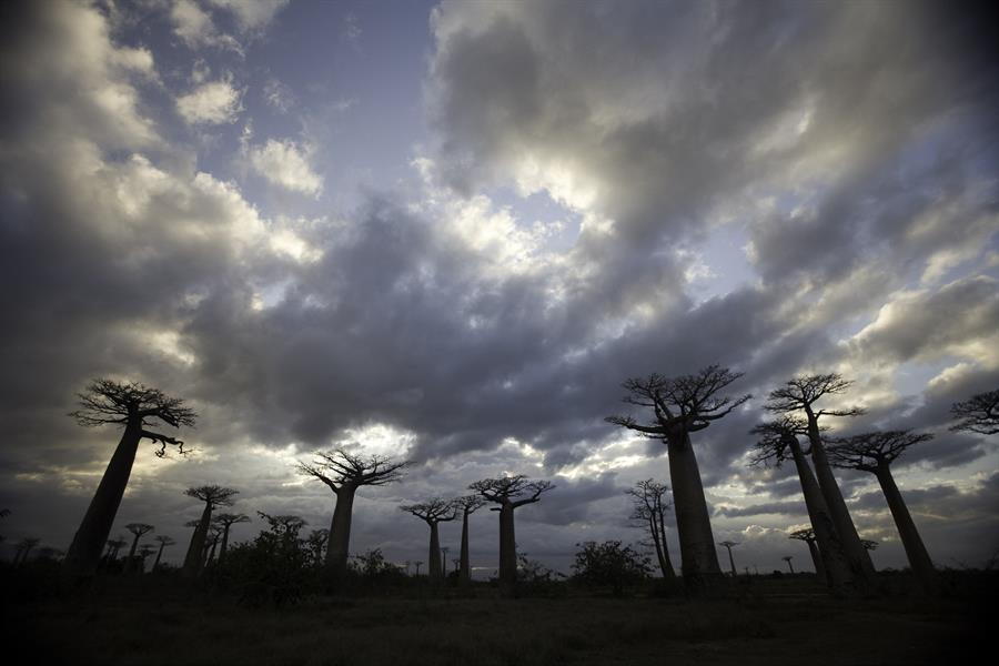 Baobab trees in Madagscar