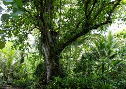 Tree in Pohnpei, Federated States of Micronesia
