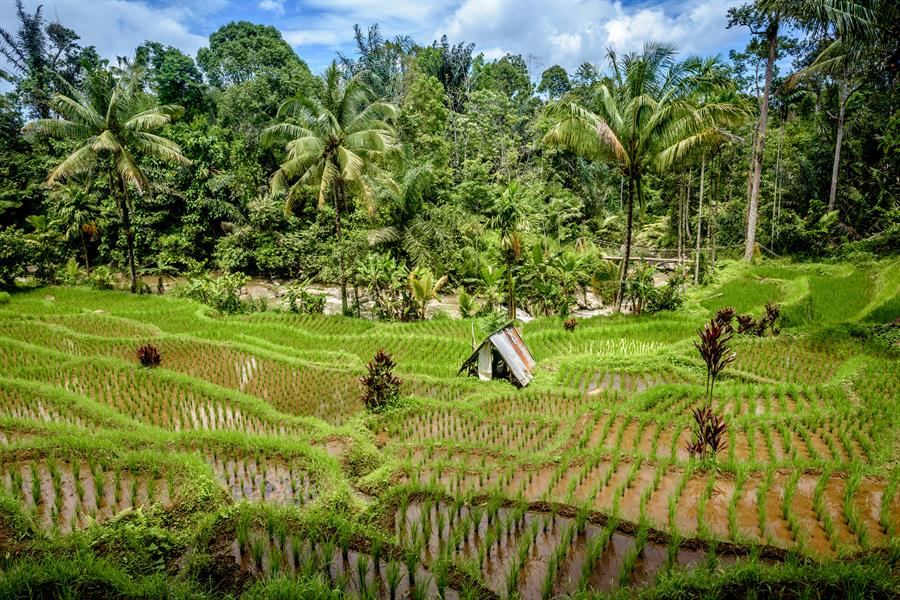 Lush rice fields on the banks of the Marancar river in Batang Toru watershed in Tapanuli Selatan, North Sumatra.