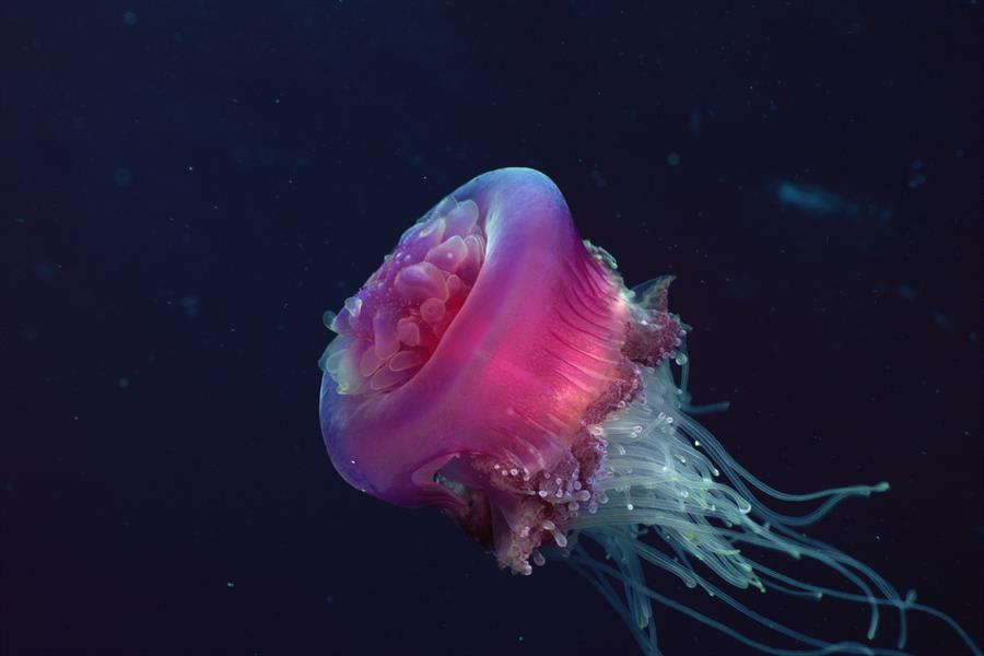 Jellyfish with conical warts cover dome