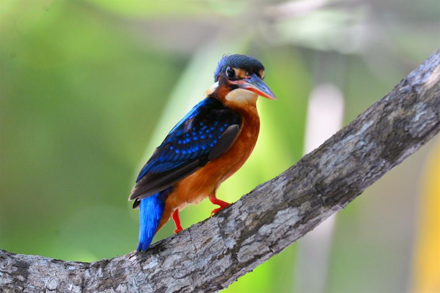Blue-eared Kingfisher Alcedo meninting perching and watching its surroundings closely in KBA Kepulauan Togean, Indonesia