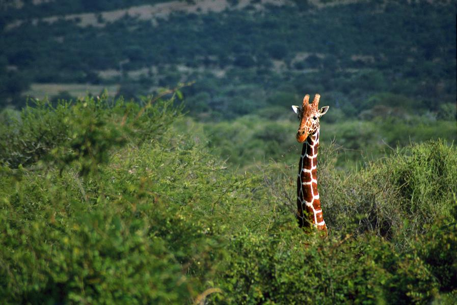 A giraffe stretches above the trees.