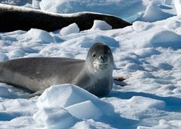 Leopard seal on the ice in Antarctica
