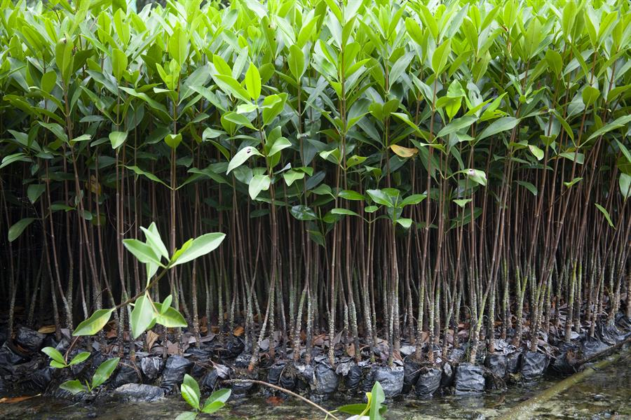 A collection of mangrove trees near the coast of Ecuador.