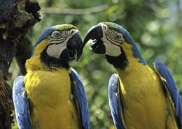 Blue-and-gold macaws
