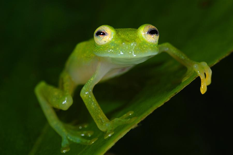 Glass frog in Peru