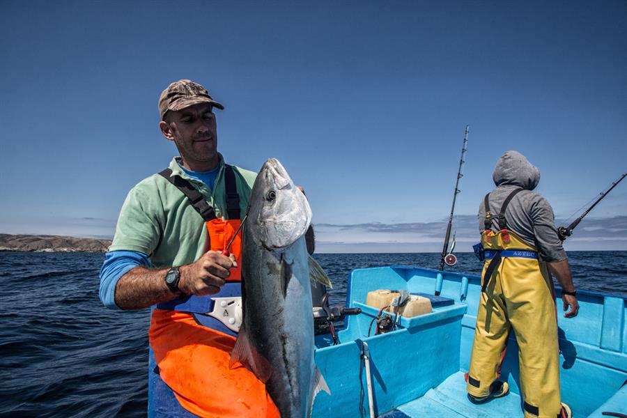 Hoyt Peckham, president of the SmartFish Group, humanely and quickly sacrifices a hand-caught California yellowtail.