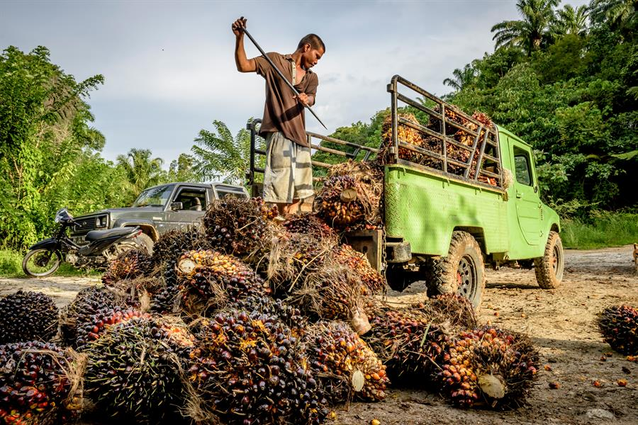 Oil palm workers at a smallholder oil palm plantation in Tapanuli Selatan, North Sumatra.