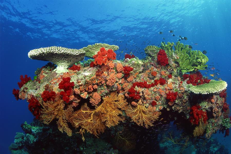 Coral reef: hard corals, soft corals and tropical fish