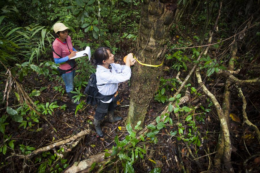 Researchers measure trees in a Peruvian forest.