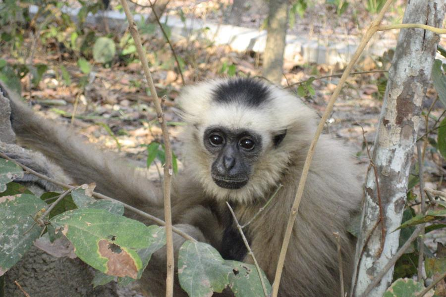 Gibbon rescued from wildlife trade