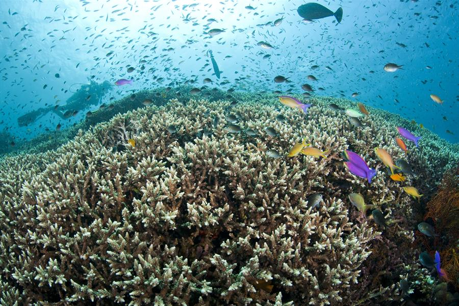 Diver and Hard Coral Reef Top with Anthias and Damsels in Bali, Indonesia