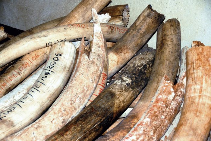 Confiscated elephant ivory at the Kenya Wildlife Service Headquarters of Tsavo West National Park.