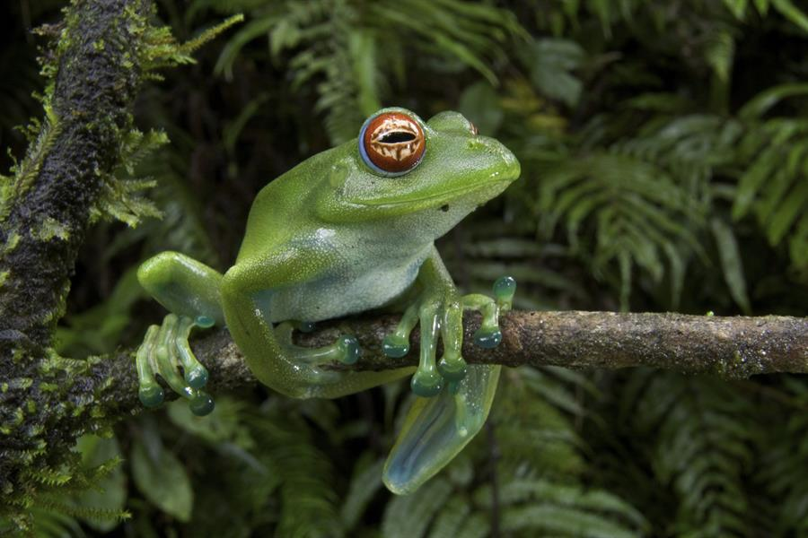 Malagasy web-footed frog