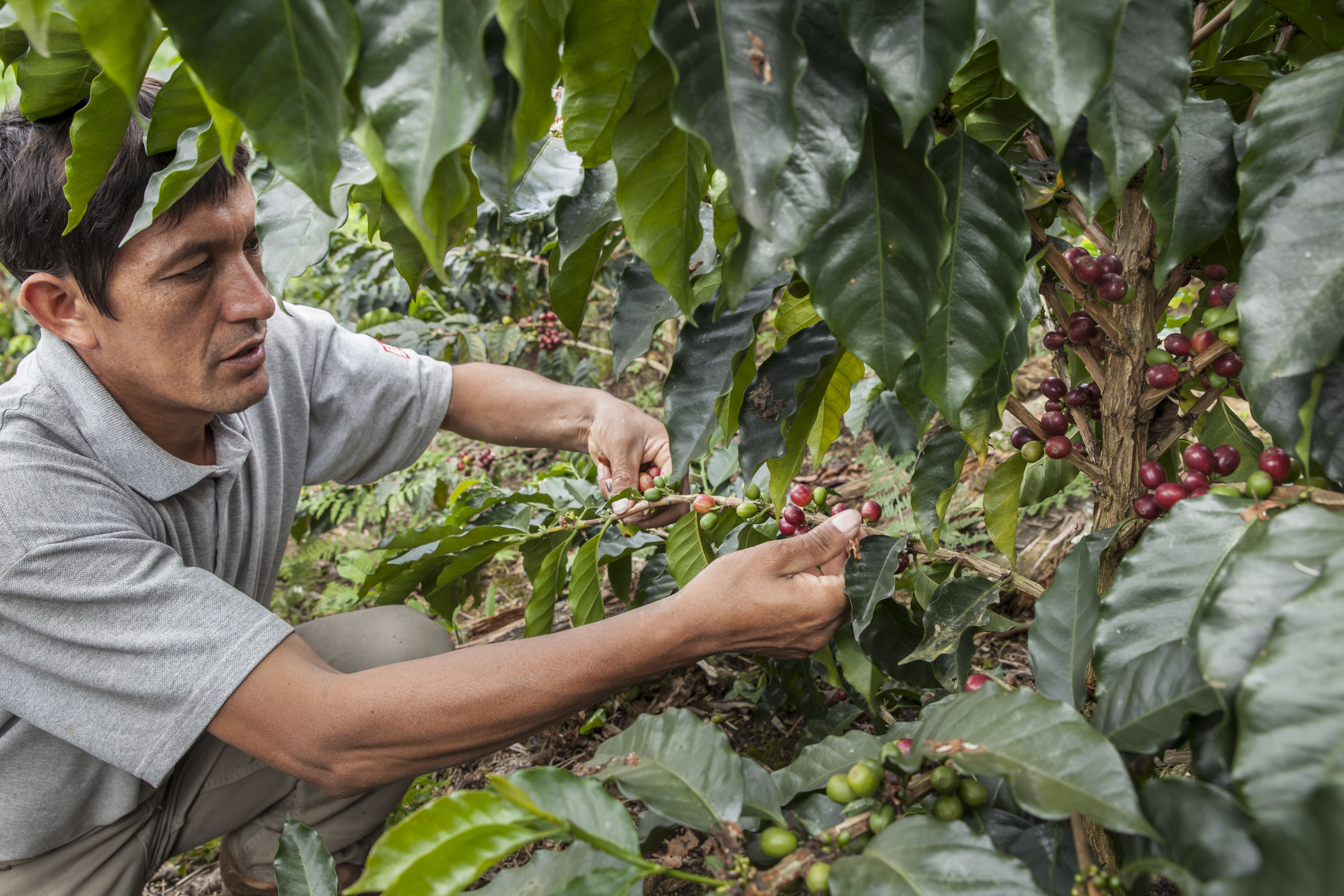 Norbil Becerra with coffee cherries in the Alto Mayo Protected Forest.