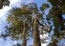 Tall trees in old growth forest in Mantadia National Park, Madagascar