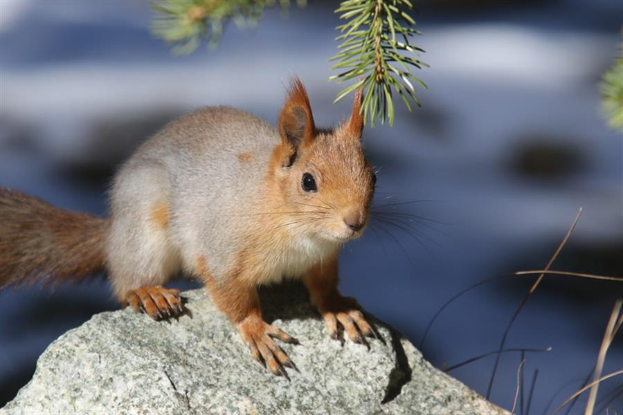 Red squirrel in Kyrgyzstan