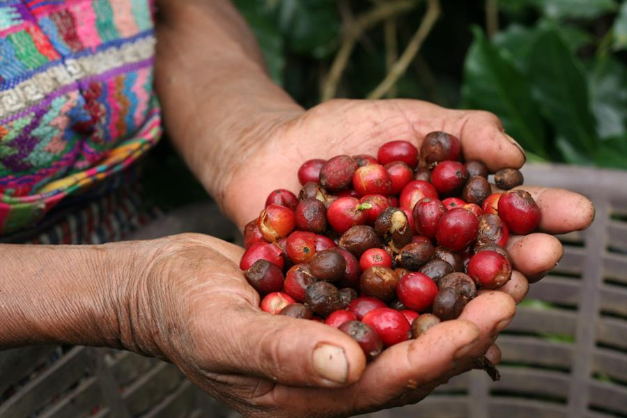 A handful of coffee berries