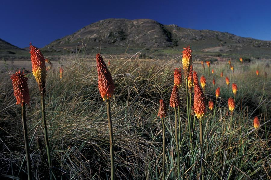 Red Hot Poker flowers (Kniphofia uvaria) in South Africa's Cape Floristic region.