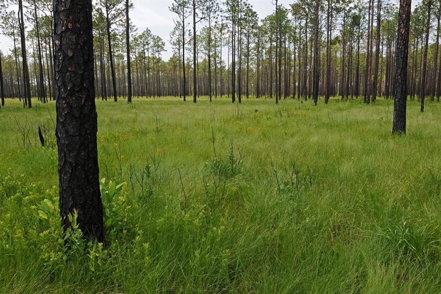 Big Island Savanna in the Green Swamp of North Carolina, USA
