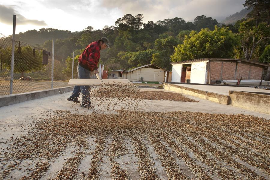 Man raking coffee berries, Chiapas, Mexico.