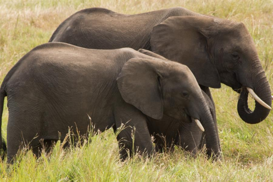 A pair of elephants (Loxodonta africana africana).