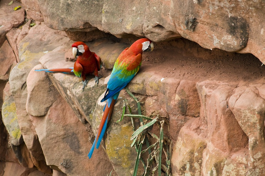 Red and Green Macaw (Ara chloroptera), Bodoquena Plateau, Brazil