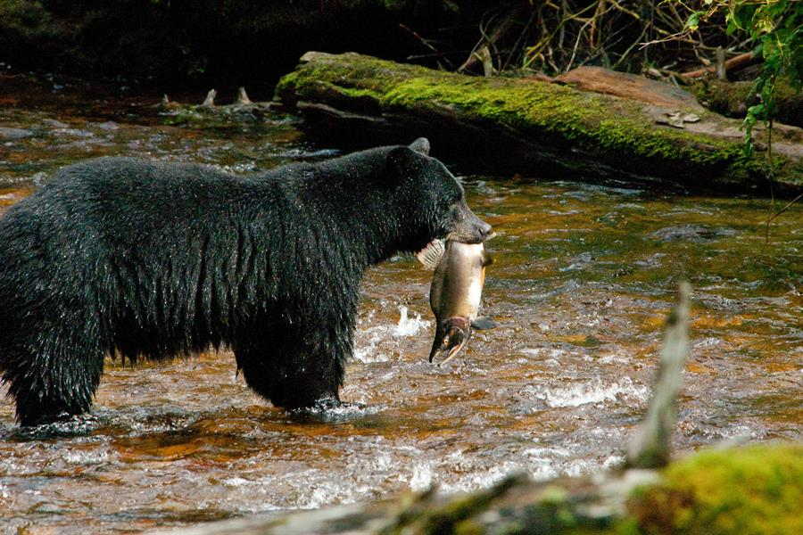 A black bear carries a freshly caught fish in its mouth.