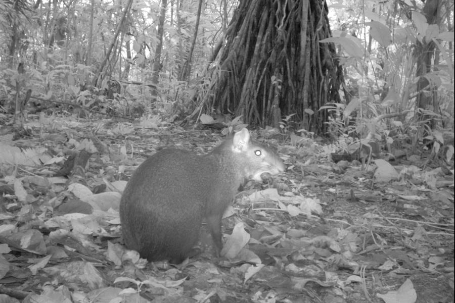 Central American agouti (Dasyprocta punctata) from TEAM's Cocha Cashu site in Manu National Park, Peru.