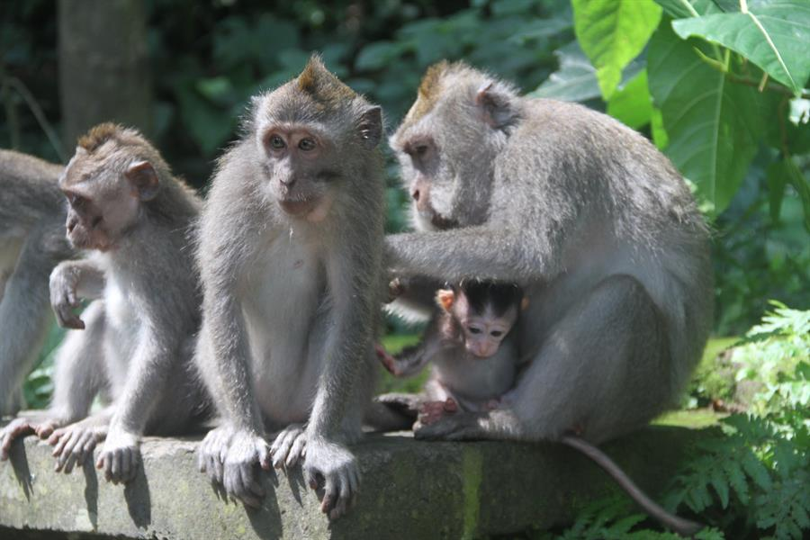 Long-tailed macaques at the Sacred Monkey Forest Sanctuary in Ubud, Bali, Indonesia.