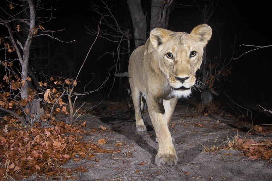 Badru Mugerwa and Lawrence Tumugabirwe set a camera trap in Kenya.