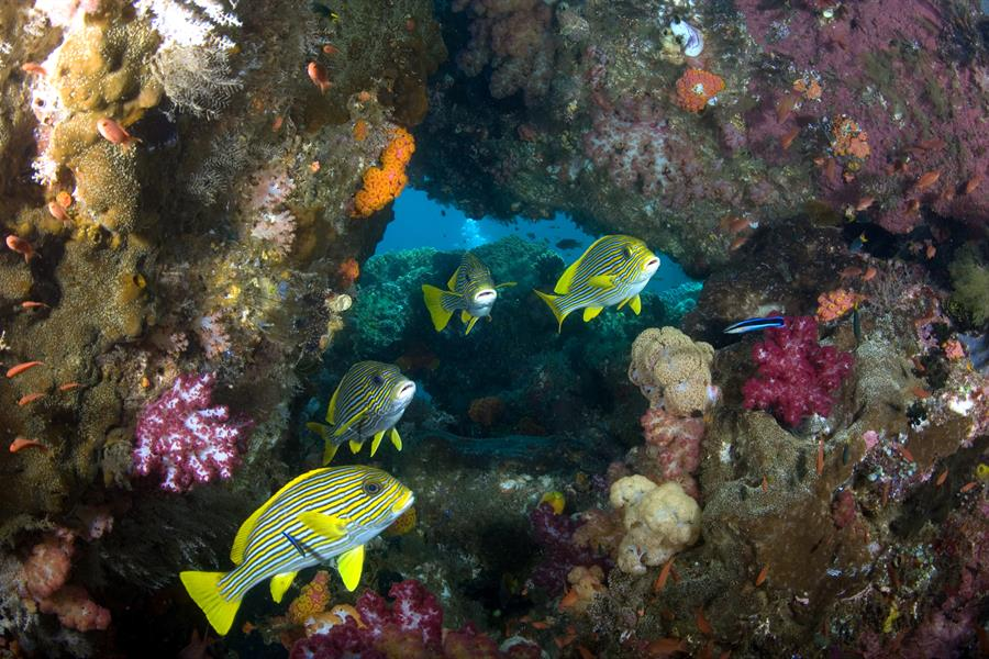 Yellow fish swim near a coral reef in the Birds Head Seascape in Indonesia.