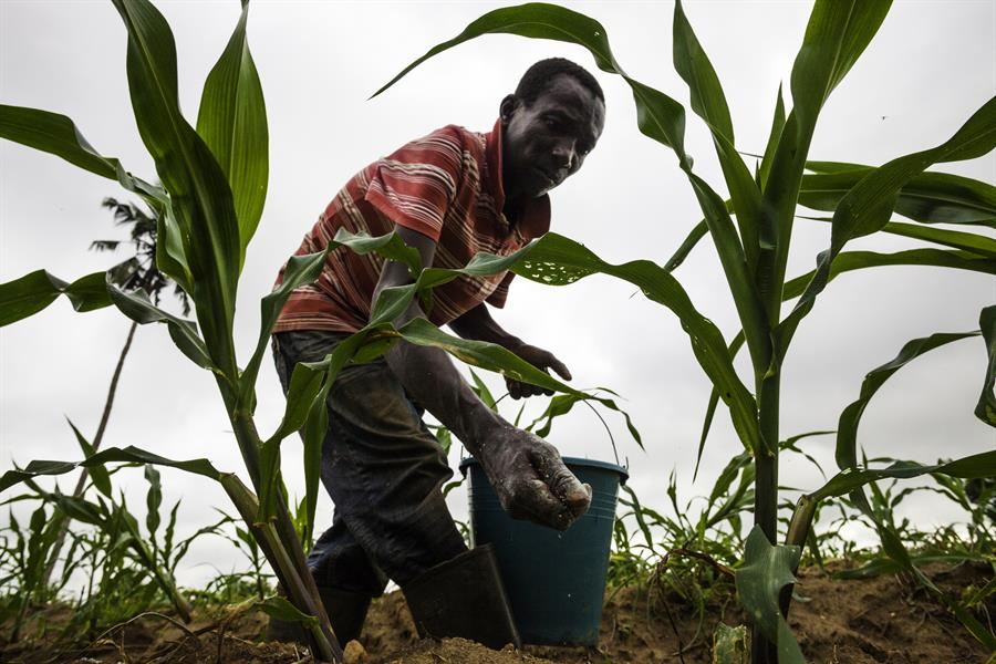 Kojo Essel fertalizes a maize crop in Okwabena, Ghana.
