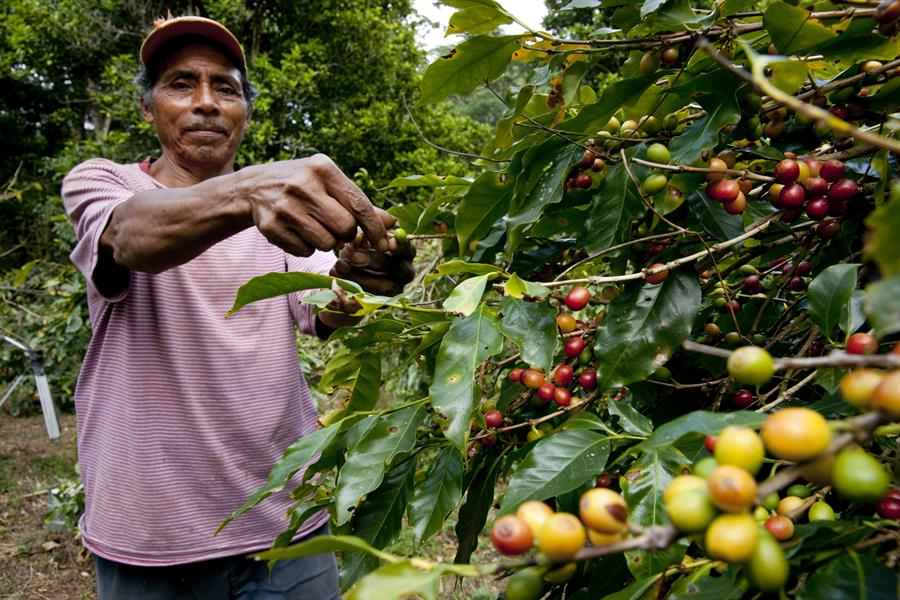 A man inspects coffee berries.