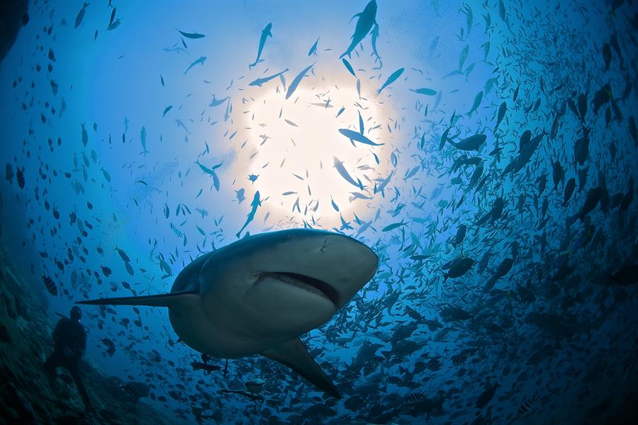 A shark prowls waters off the coast of Fiji.