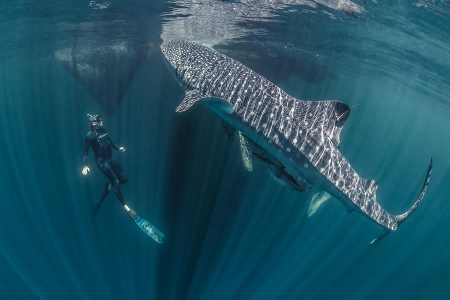 Mark Erdmann swims with a tagged whale shark in Bird's Head seascape.