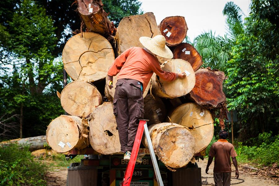 An inspector labels each log harvested from the forest.