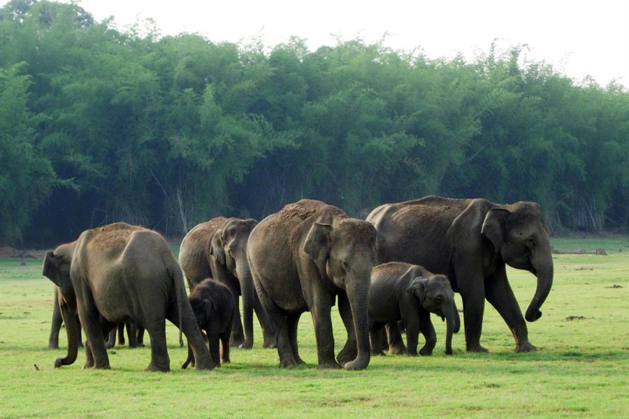 A herd of Indian elephants in the Western Ghats biodiversity hotspot.