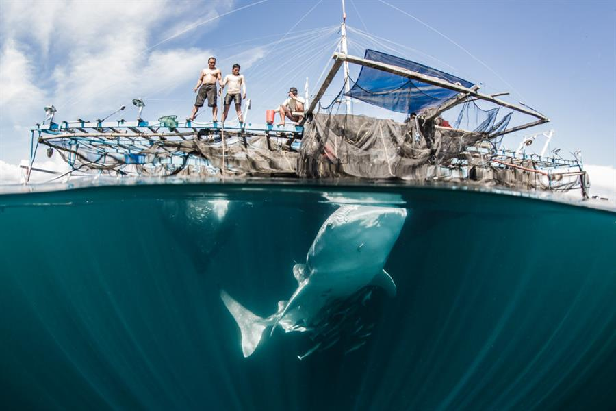 Whale sharks in Cendrawasih Bay feeding on baitfish beneath a bagan lift net vessel