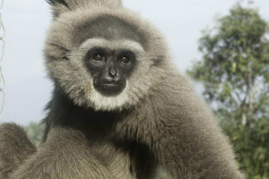 (Hylobates moloch) Javan Gibbon, AKA Silvery Gibbon, Rehabilitation Center in Bodogol, Indonesia.