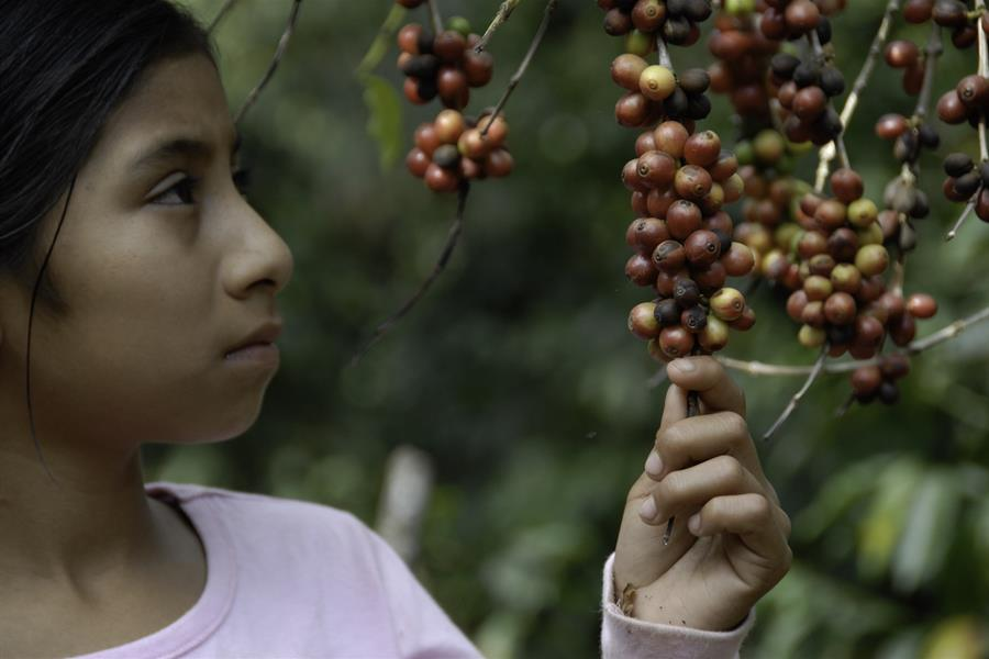 Girl grasps branch of coffee berries