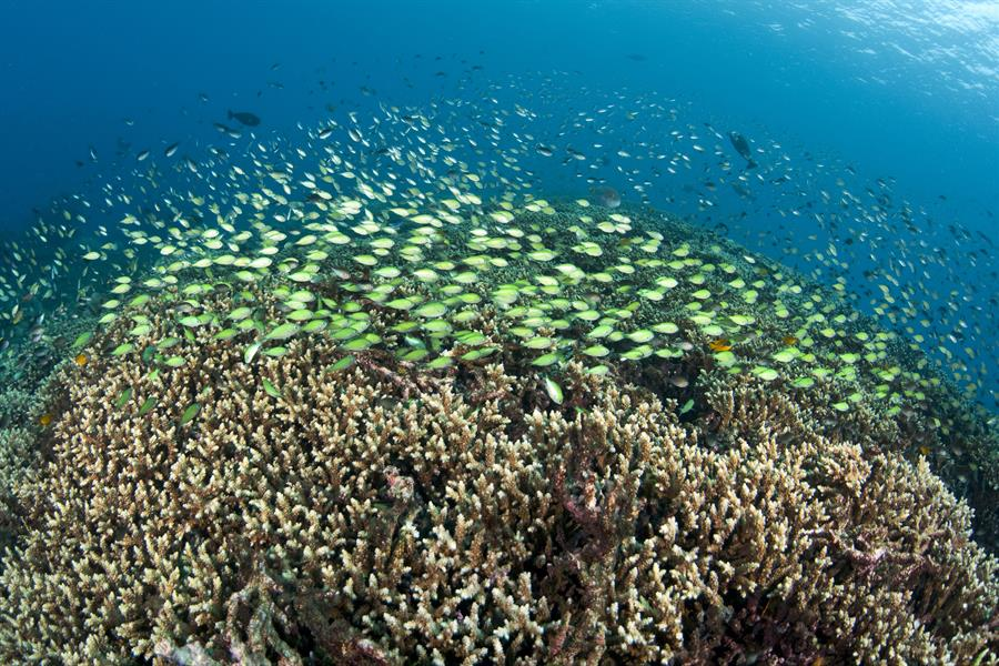 Hard Corals, and Chromis in Bali, Indonesia