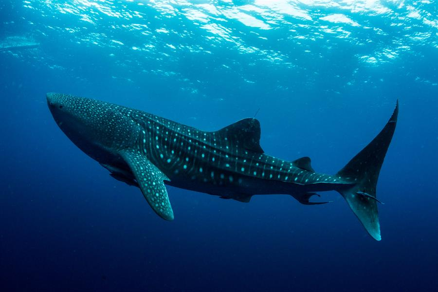 A whale shark in Indonesia's Cendrawasih Bay