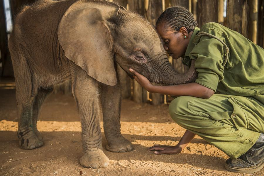 Rescued elephants at Reteti Elephant Sanctuary are looked after by local keepers from the Samburu in Northern Kenya.