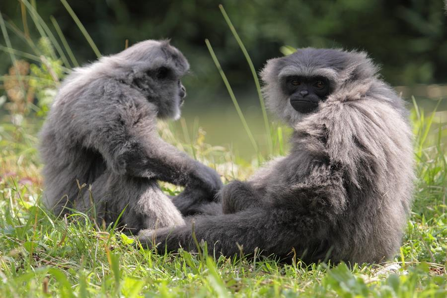 A couple of sitting silvery gibbons.